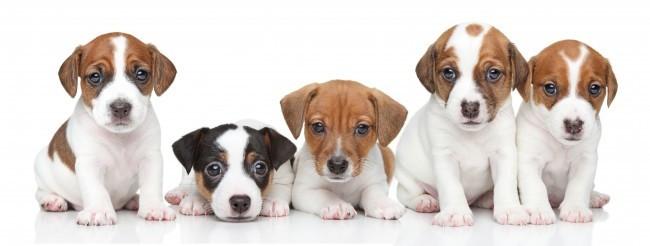 Group of Jack Russel terrier puppies