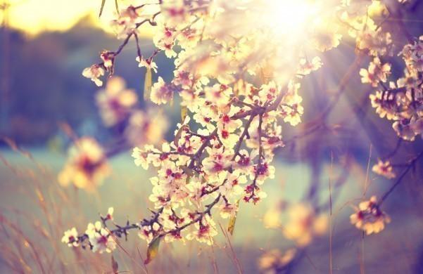 Blloming tree and sun flare