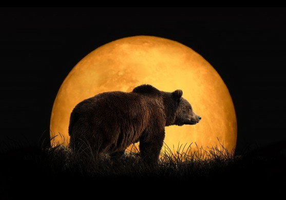 Bear and the red moon