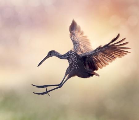 Limpkin Bird in Flight