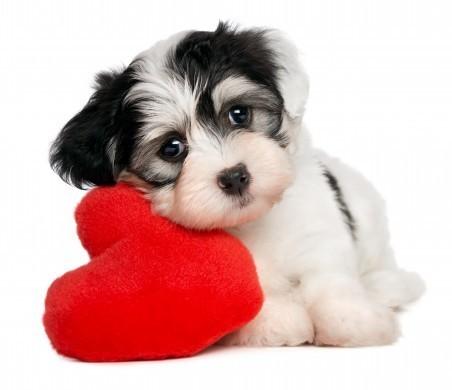 Lover Valentine Havanese puppy