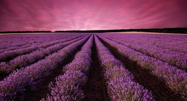 Lavender field landscape at sunset