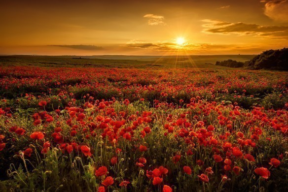 Poppy field at sunset