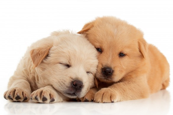 Two cute Chow-chow puppies
