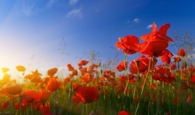 Poppies at sunrise