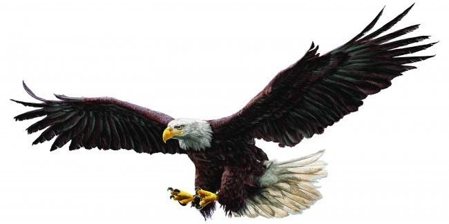 Bald eagle draw
