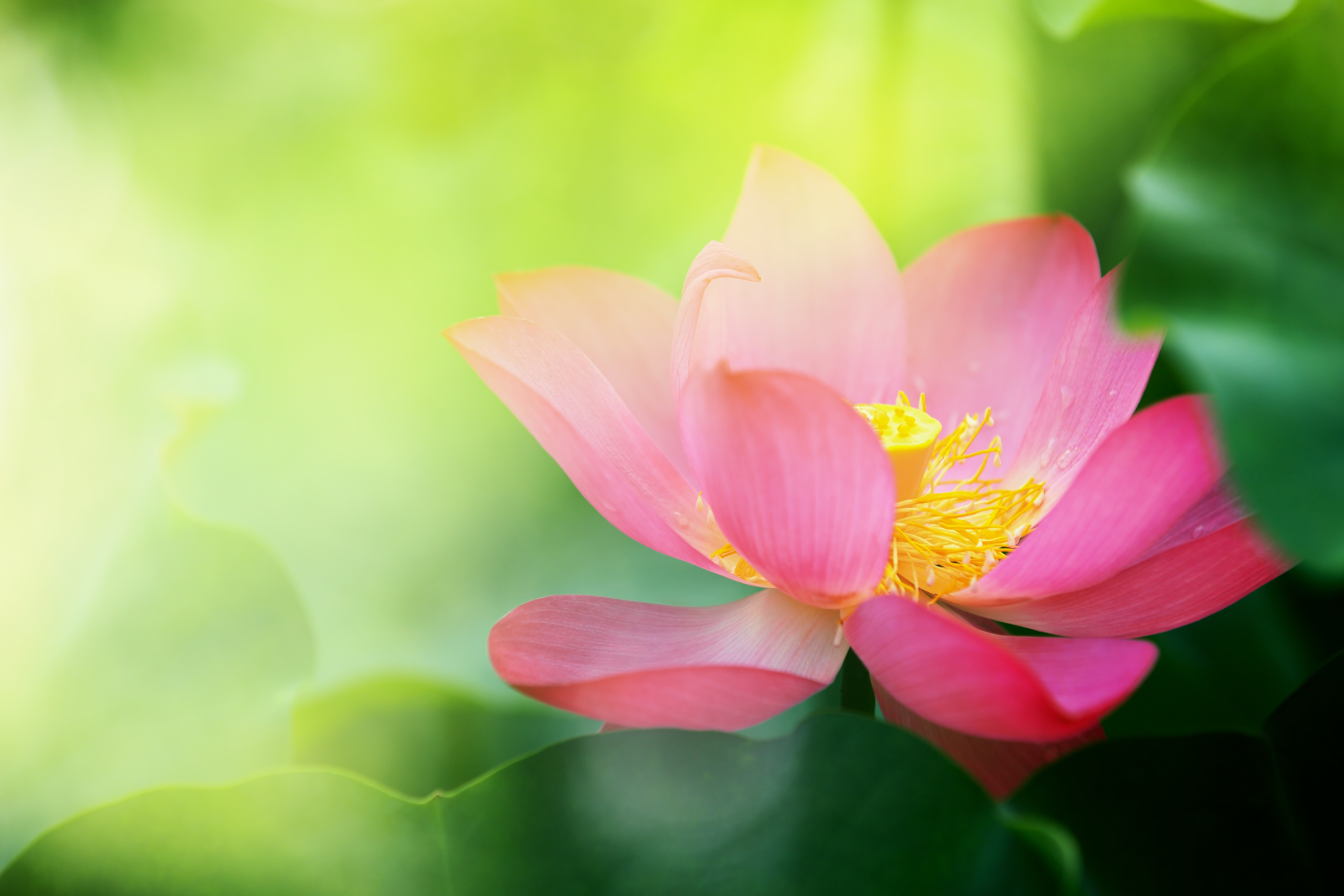 Pink lotus flower pink colours canvas prints wonder wall dhlflorist Images