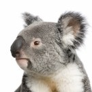 Portrait of male Koala bear