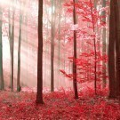 Magic Red Forest
