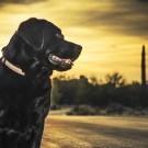 Pet dog labrador