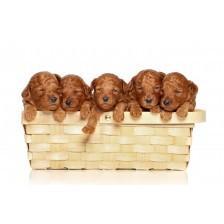 Poodle in basket