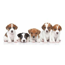 Group of Jack Russel terrier puppies