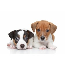 Two Jack Russell terrier puppies