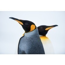 King Penguin Couple in love