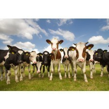 Team of Dutch cows