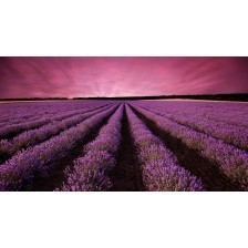 Lavender field landscape at sunset