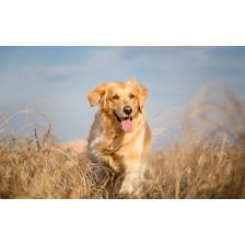 Golden retriever dog running