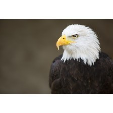 Bald headed eagle, side profile