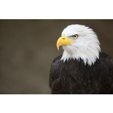 Bald headed eagle, side profile