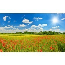 Summer meadow with poppies
